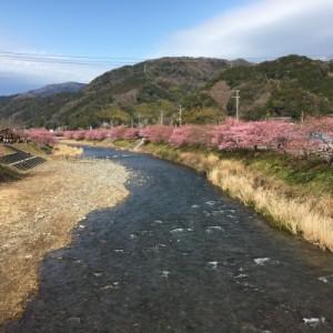 静岡 伊豆 河津桜祭り