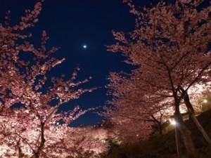河津桜 ライトアップ